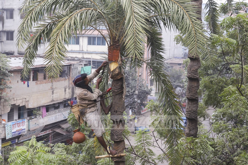 A man climbs a palm tree in Dhaka's Mirpur-1 to gather dates and extract the juice from dates. Photo: Asif Mahmud Ove
