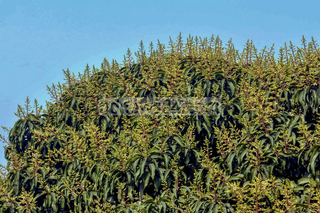 A mango tree teeming with flower buds ahead of spring in Savar.