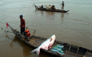 """In a photo provided by Zeb Hogan, UNR Global Water Center, a giant catfish caught on the Tonlé Sap River in Cambodia. Overharvesting and habitat loss endanger most of the world's freshwater """"megafauna,"""
