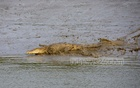 A salt-water crocodile is viewed in Supoti canal under Chandpai Range of the Sundarbans. Photo: Mostafigur Rahman