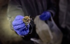 FILE -- A big brown bat collected by researchers in a cave near Ely, Nev., Nov. 5, 2018. Bats are considered the probable source of the coronavirus outbreak spreading from China. It turns out that they may have an immune system that lets them coexist with many disease-causing viruses. (Kim Raff/The New York Times)