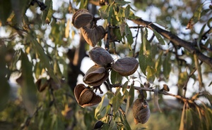 Almonds on a tree at sunset in Els Guiamets, Spain on Aug 22, 2019. The New York Times