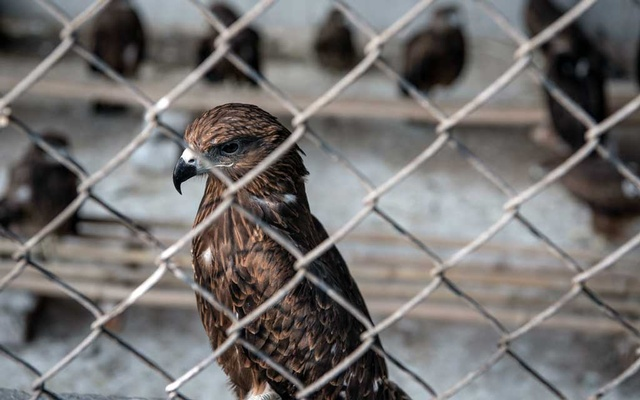 Black kites sit in a cage at Wildlife Rescue, a bird rehabilitation organisation in New Delhi, on Nov 4, 2020. Black kites are a common sight in the city, but are often fatally injured by the flying of paper kites. The New York Times