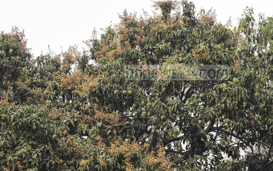 A mango tree is in full bloom at the beginning of spring at the State Guest House Meghna in Dhaka. Photo: Asif Mahmud Ove