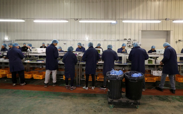 FILE PHOTO: Eastern European workers pack asparagus at Cobrey Farm in Ross-on-Wye, Britain, March 11, 2019. Reuters