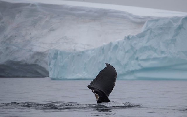 A wounded whale that lost part of one of its fins swims near Two Hummock Island, Antarctica, Feb 2, 2020. REUTERS