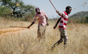 Joseph Katone Leparole, left, and his son Francis swat at swarming locusts, trying to stop them from laying eggs, in the West Gate Community Conservancy, near Wamba, Kenya, Feb 7, 2020. The New York Times