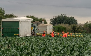 Workers pick cabbages in a field near Boston, England on Oct 15, 2019. Britain moved to cut overall immigration by locking migrants out of sectors like catering, construction, senior care and hospitality. The New York Times