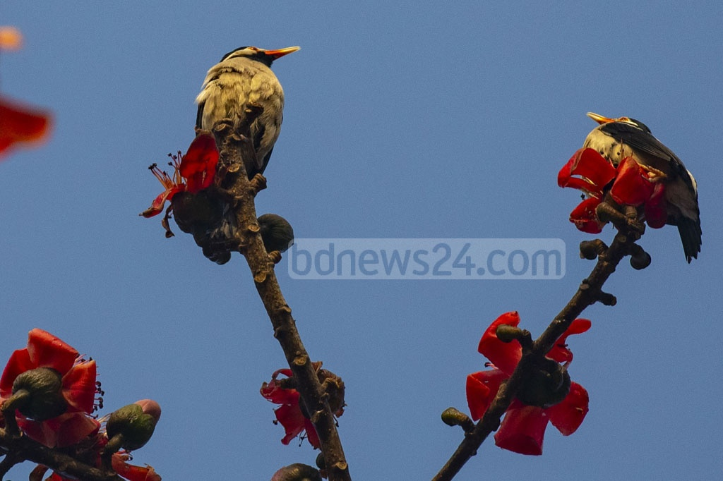 A Shimul or red-silk cotton tree has started to blossom drawing birds on its branches in Narsingdi's Raipura as spring arrives.