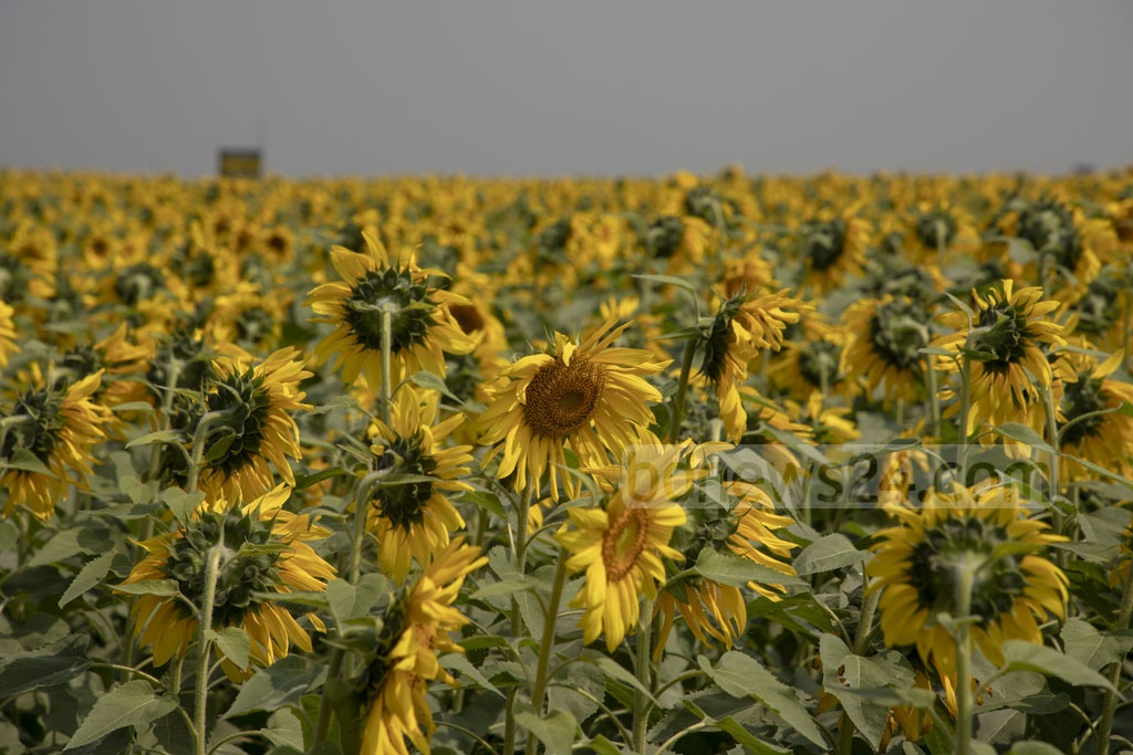 First-time successes have turned farmers of Brahmanbaria to sunflower with swathes of the district now being used to farm the flower for oil production. Photo: Mostafigur Rahman