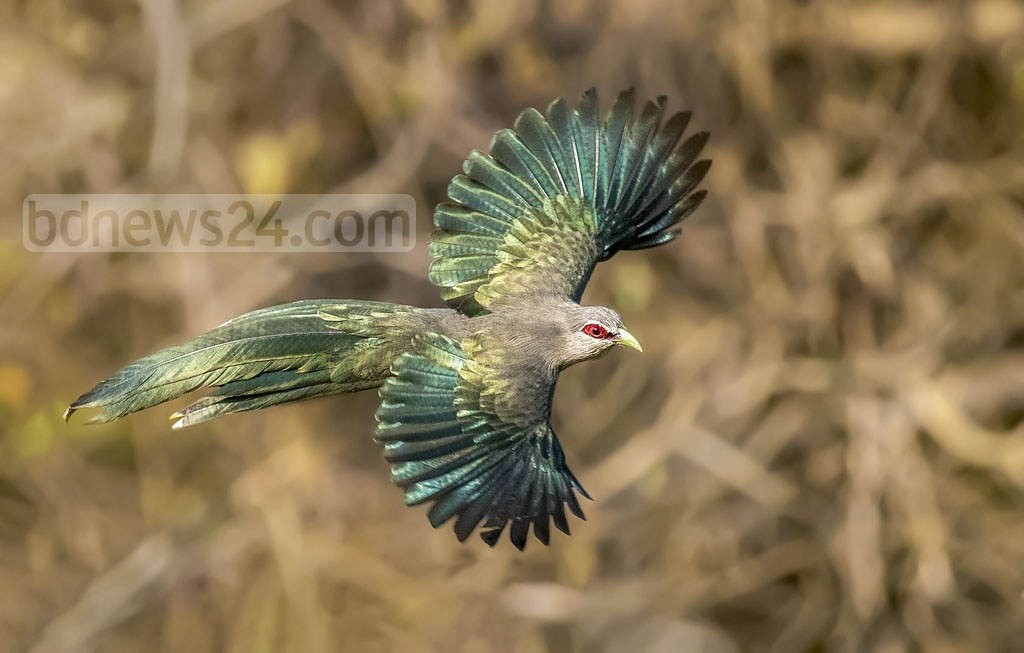 A green build Malkoha or Bon Kokil flying at Satchhari National Park in Habiganj's Chunarughat. Tawhid Parvez Biplob