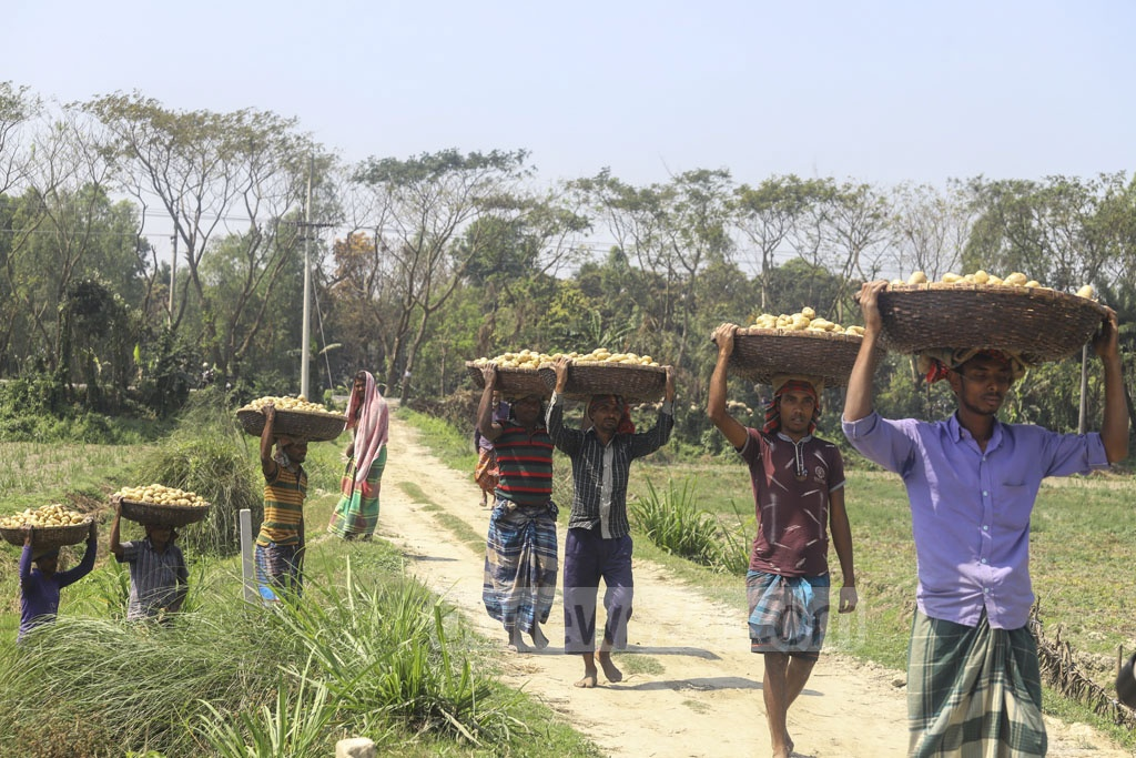 Farmers carrying fresh harvests from a potato field in Munshiganj's Sreepur Upazila. Photo: Asif Mahmud Ove