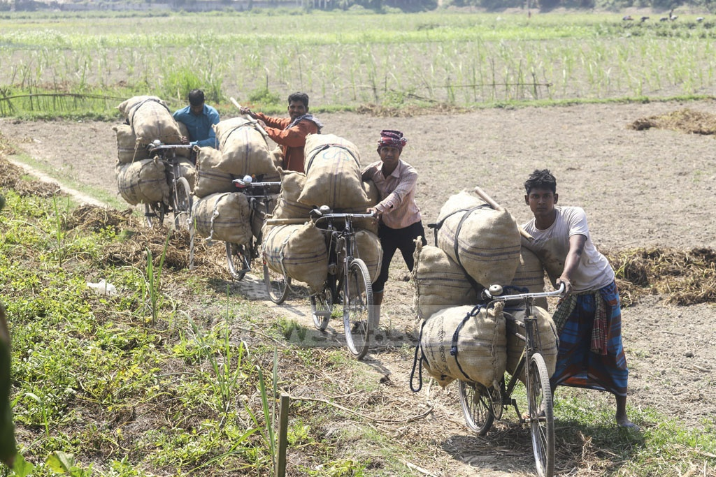 Farmers transporting potato harvests from fields in Munshiganj. Photo: Asif Mahmud Ove