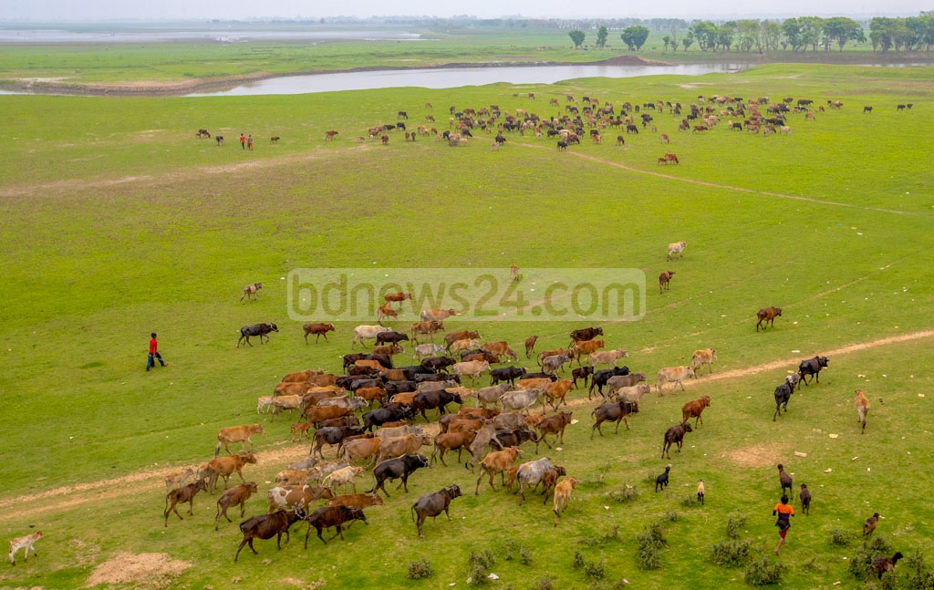 Farmers grazing cattle on a swathe of land at Tanguar Haor backswamp in Sunamganj.Photo: Touhid Parvez Biplob