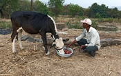 Anil Salunkhe, a farmer, feeds strawberries to his cow during a 21-day nationwide lockdown to slow the spreading of coronavirus disease (COVID-19), at Darewadi village in Satara district in the western state of Maharashtra, India, Apr 1, 2020. REUTERS