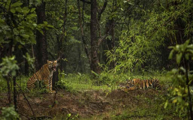 Tigers at a reserve in the Indian state of Maharashtra, Sept 6, 2018. The New York Times