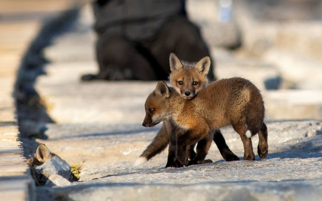 Fox cubs venture out from their den under a popular boardwalk alongside Lake Ontario in Toronto, Ontario, Canada April 22, 2020. REUTERS