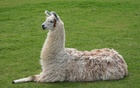 Hoping llamas will become coronavirus heroes