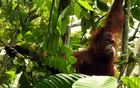 A photo provided by the Sumatran Orangutan Conservation Programme, an orangutan named Bina Wana at the Sumatran Orangutan Conservation Programme in Medan, Indonesia. The New York Times