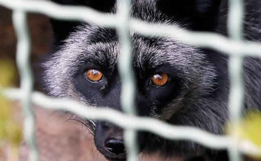 A raccoon dog is seen in its enclosure of an empty private zoo called