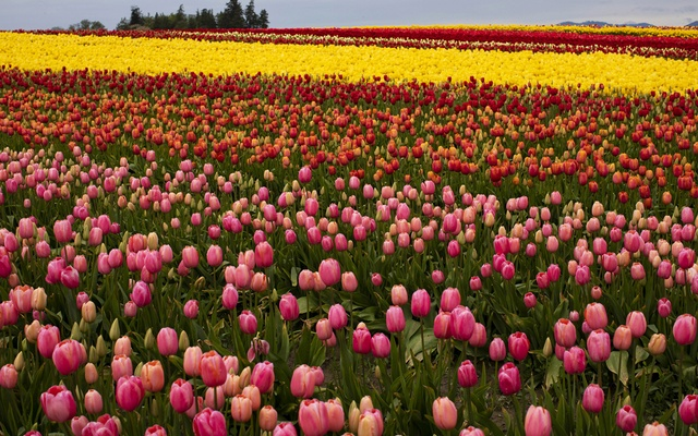 Fields of flowers at Tulip Town in Mt. Vernon, Wash on Friday, April 24, 2020. The New York Times