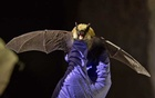 FILE -- A western small-footed bat collected by researchers in a cave near Ely, Nev., Nov. 5, 2018. (Kim Raff/The New York Times)