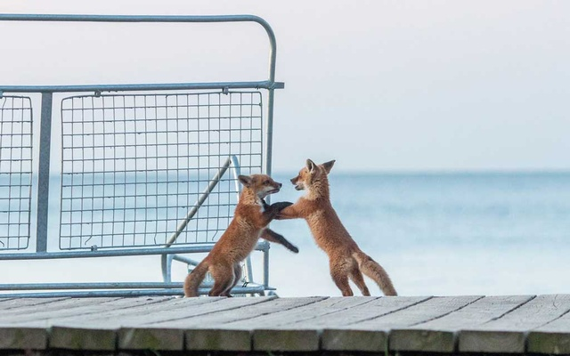 Young foxes playing outside their family den, located under the boardwalk, at Woodbine Beach in Toronto on May 10, 2020. The New York Times