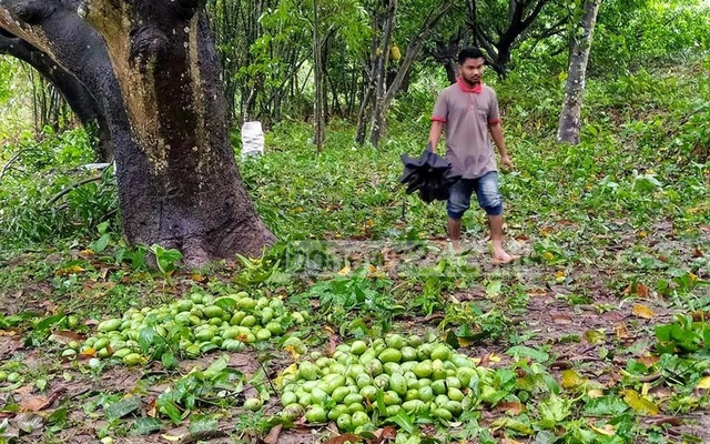 Bangladesh mango farmers devastated as cyclone scythes harvest hopes