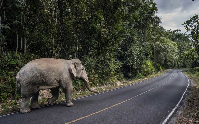 A wild elephant on the road in Khao Yai National Park, Thailand, Nov 22, 2019. Tourist trails helped push elephants to their deaths in Thailand's oldest nature preserve, but the coronavirus lockdown is allowing them to roam freely again. The New York Times