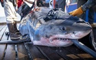 In a photo from Rob Snow/Ocearch, a great white shark named Unama'ki is tagged in waters near Novia Scotia in 2019. Gambling on shark migration patterns could raise awareness, some experts say. But it could also fuel the animals' reputation as mere entertainment. (Rob Snow/Ocearch via The New York Times)