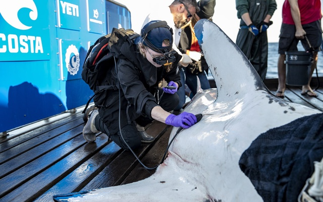 In an undated photo from Rob Snow/Ocearch, Molly Martony, a veterinarian, uses an ultrasound to observe the heartbeat of a great white shark known as Bluenose as it is tagged in 2019. (Rob Snow/Ocearch via The New York Times)