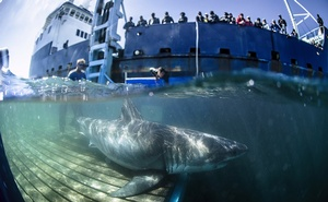 In a photo from Rob Snow/Ocearch, a great white shark named Unama'ki is tagged in waters near Novia Scotia in 2019. (Rob Snow/Ocearch via The New York Times)