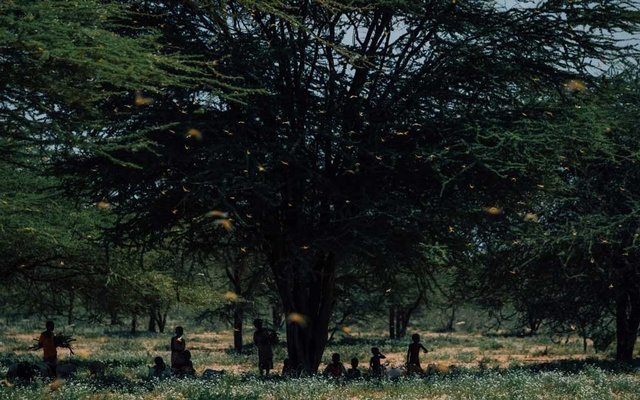 People shelter under a tree as locusts take flight in Laisamis, Kenya, Feb 8, 2020. The coronavirus pandemic has brought hunger to millions of people around the world; national lockdowns and social distancing measures are drying up work and incomes, and are likely to disrupt agricultural production and supply routes — leaving millions to worry how they will get enough to eat. The New York Times/FILE