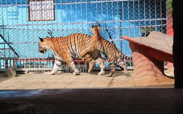 Seven-month-old Corona, a female tiger cub, is playing with her mother 'Pori' at the Chattogram Zoo.