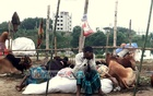 Eid cattle traders in Dhaka stare at 'disaster'