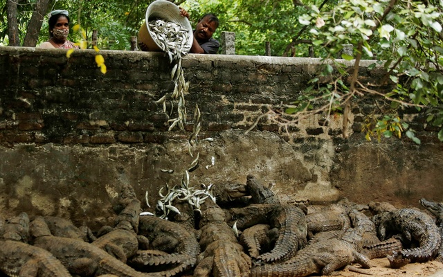 Zoo keepers feed crocodiles in their enclosure at the Madras Crocodile Bank, closed due to the outbreak of coronavirus disease (COVID-19), in Mahabalipuram, India, August 3, 2020. Picture taken August 3, 2020. REUTERS