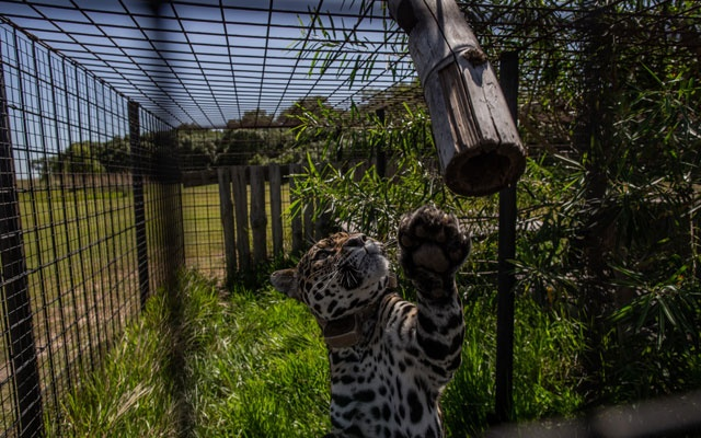 A jaguar named Isis in a pre-release pen at Iberá National Park, in Argentina's province of Corrientes, March 6, 2020.