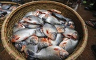 Traders swindle customers by selling banned piranha as Rupchanda at high prices. Photo: Mahmud Zaman Ovi