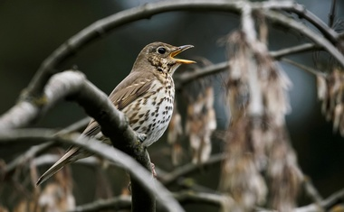A song thrush sings a song on a tree branch in the Central Botanical Garden in Minsk, Belarus May 17, 2020. REUTERS/ File