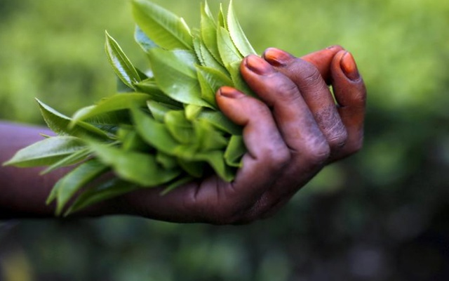 Freshly plucked tea leaves are seen in the hand of a tea garden worker inside Aideobarie Tea Estate in Jorhat in Assam, India April 21, 2015. REUTERS/ FILE