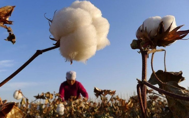 A farmer picks cotton from a field in Hami, northwest China's Xinjiang Uygur autonomous region, November 1, 2012. REUTERS/China Daily