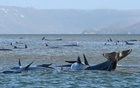 A pod of whales is seen stranded on a sandbar at Macquarie Harbour, Tasmania, September 21. Government scientists said about 90 of the 270-strong pod of pilot whales have died since they were spotted from the air in shallow water off the rugged...MORE