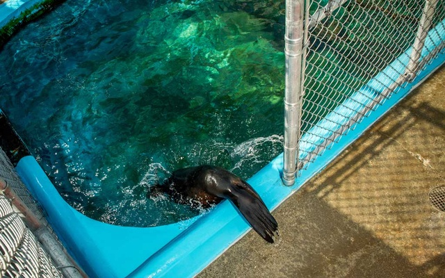 Cronutt, a 7-year-old sea lion, in his enclosure at Six Flags Discovery Kingdom in Vallejo, Calif., on Oct. 5, 2020. Cronutt, like a growing number of ocean mammals, developed seizures because of toxins in the water. Scientists hope the pioneering procedure he underwent this week could help. (Christie Hemm Klok/The New York Times)