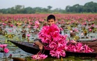 A child returns home after picking water lilies from Shapla Beel in Barishal's Uzirpur Upazila. Photo: Shaon Howladar