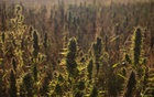 A cannabis field in Yammouneh, in the Bekaa Valley of Lebanon, a cannabis growing region, Sept 25, 2020. The New York Times
