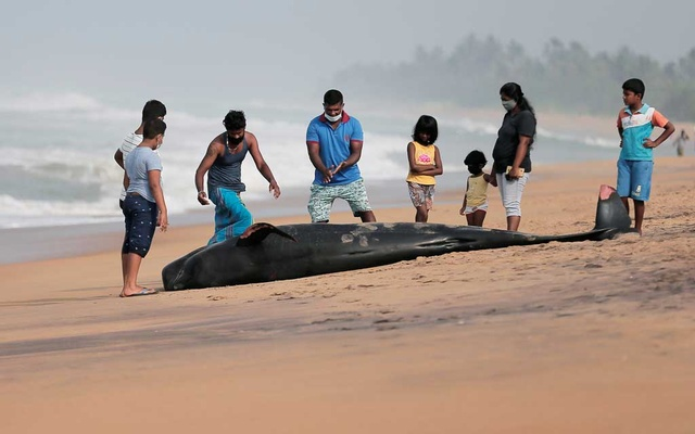 People look at a dead pilot whale after being stranded on a beach in Panadura, Sri Lanka, Nov 3, 2020. REUTERS