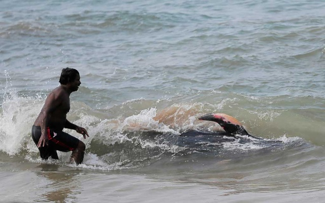 A villager tries to push a pilot whale after being stranded on a beach in Panadura, Sri Lanka, Nov 3, 2020. REUTERS
