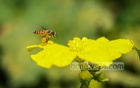 HONEY HUNTERS: A bee gathers honey from a flower at Singair in Manikganj. Photo: Asif Mahmud Ove