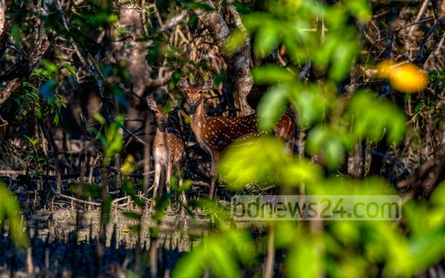 The usual number of deer were found in the Tambulbunia area of Chandpai range in east Sundarbans. They were peeking through the dense forest to see the tourists who roaming the area.