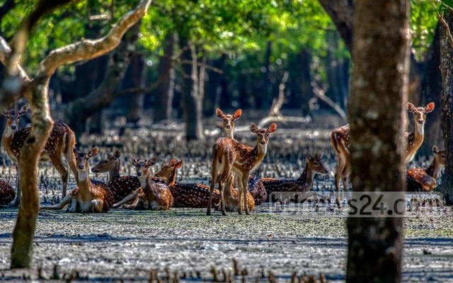 Spotted deer are the second-biggest attraction for tourists in the Sundarbans after the Royal Bengal Tiger. While it is rare to catch a glimpse of the big cats, deer can be found everywhere in the world's biggest mangrove forest. The Sundarbans is home to an estimated 150,000 spotted deer.
